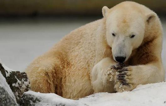 Knut Polar Bear Dead at 4