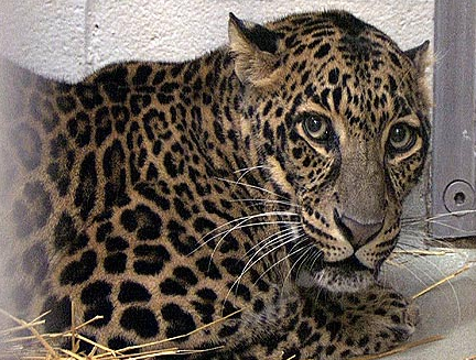 Zanesville Ohio, Leopard Survivor